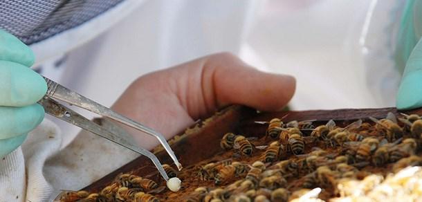 Conferencia  de la Dra. Anne Dalmon, especialista en virus de abejas y despoblamiento de colmenas